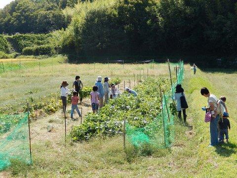 枝豆の収穫.jpg